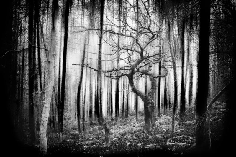 Oak-amongst-firs
